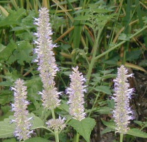 Terminal spikes of blue hyssop flowers.