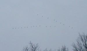 Twenty-two Canada Geese flying North.