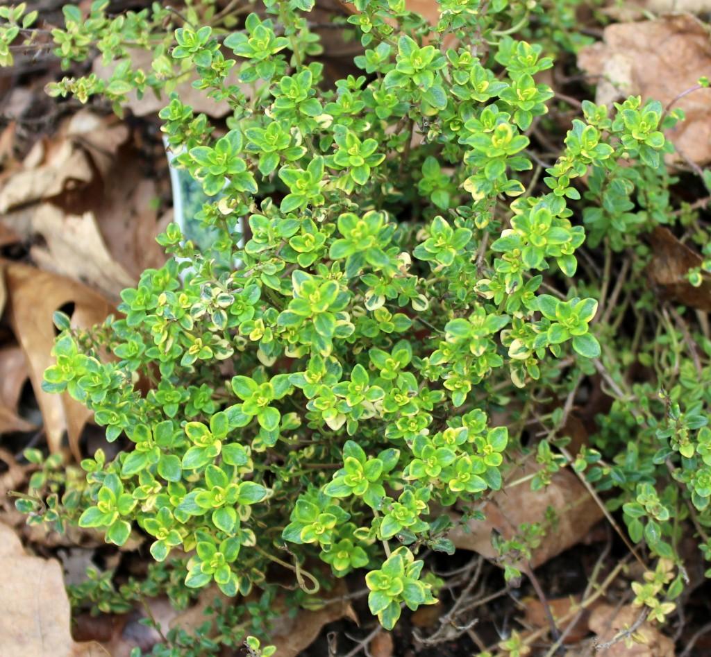 Garden Bush: Thyme Herb Information
