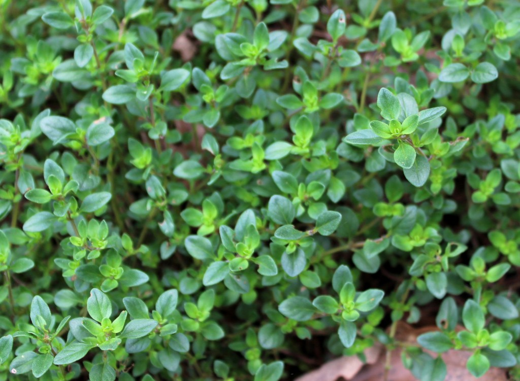Thyme Herb Information Use That Herb