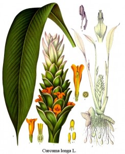 Turmeric root plant, Curcuma longa. Image from Franz Eugen Köhler, 1897, public domain in US.