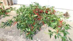 cayenne pepper plant in front of garage door