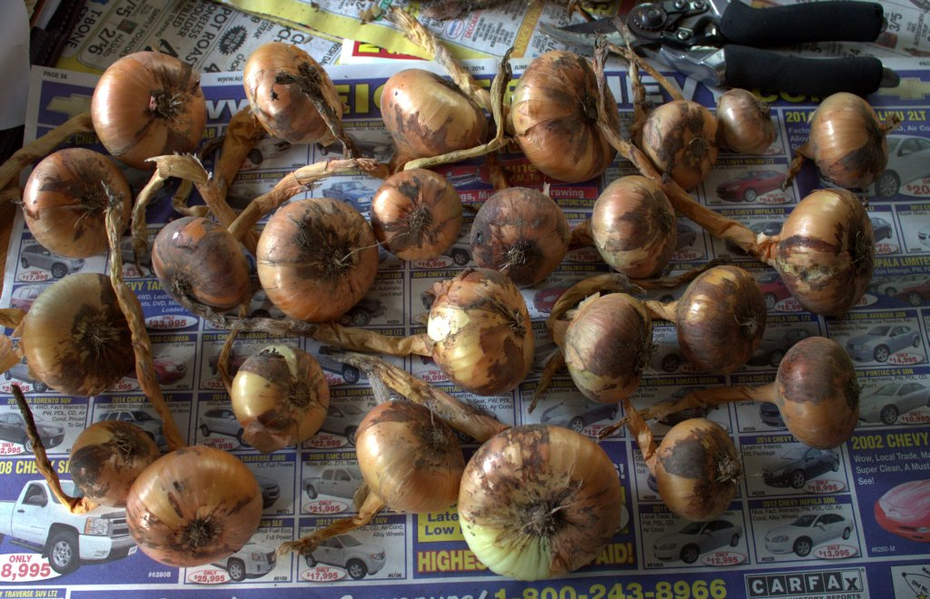 Onions are laid on their sides on newspaper to dry before storage.