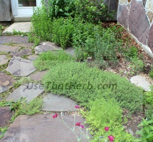 Fast-growing herbs from the top are spearmint, peppermint, horehound, thyme and cilantro.