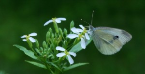 White Cabbage Butterfly Visiting a Radish Flower