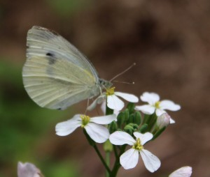 White Cabbage Butterfly Visiting a Mustard Plant