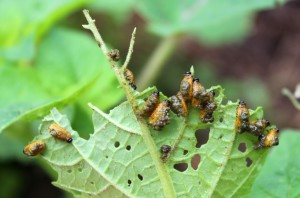 Potato Beetle Grubs with Excrement on Underside of Husk Tomato Leaves