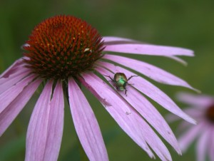 Japanese Beetle On Echinacea Flower