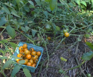 Harvested Sungold Cherry Tomatoes Escaped Hornworm Damage