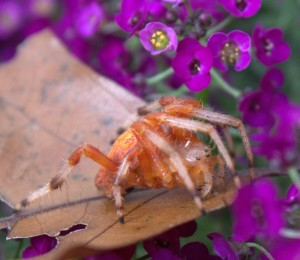 Marbled Orange Orb-weaver Spider with Long Legs