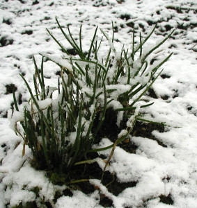 Perennial chives under the April Fool's Snow.