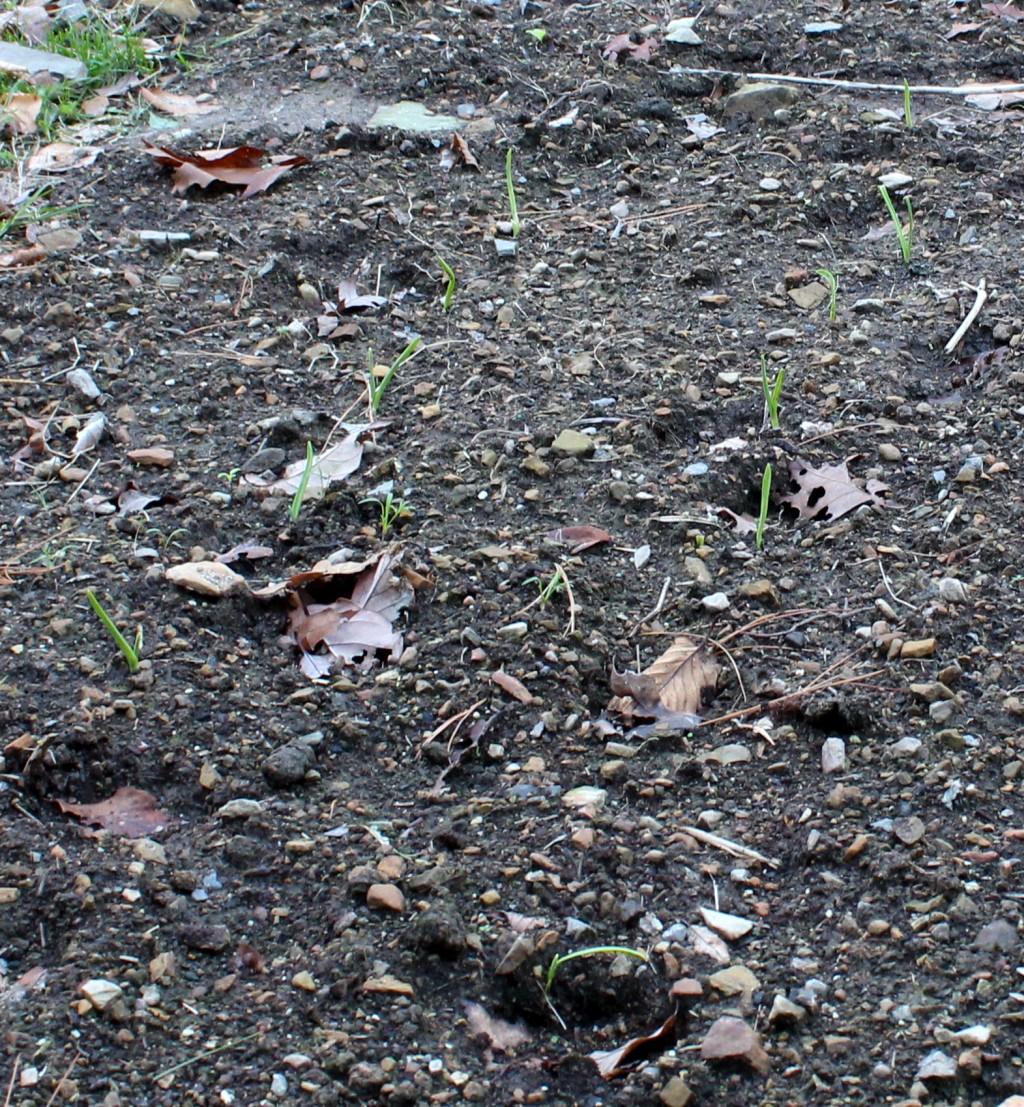 Garlic Sprouting in the Garden