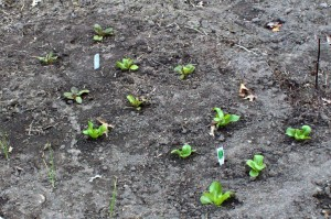 Freckles Romaine and Buttercrunch Lettuce Starts