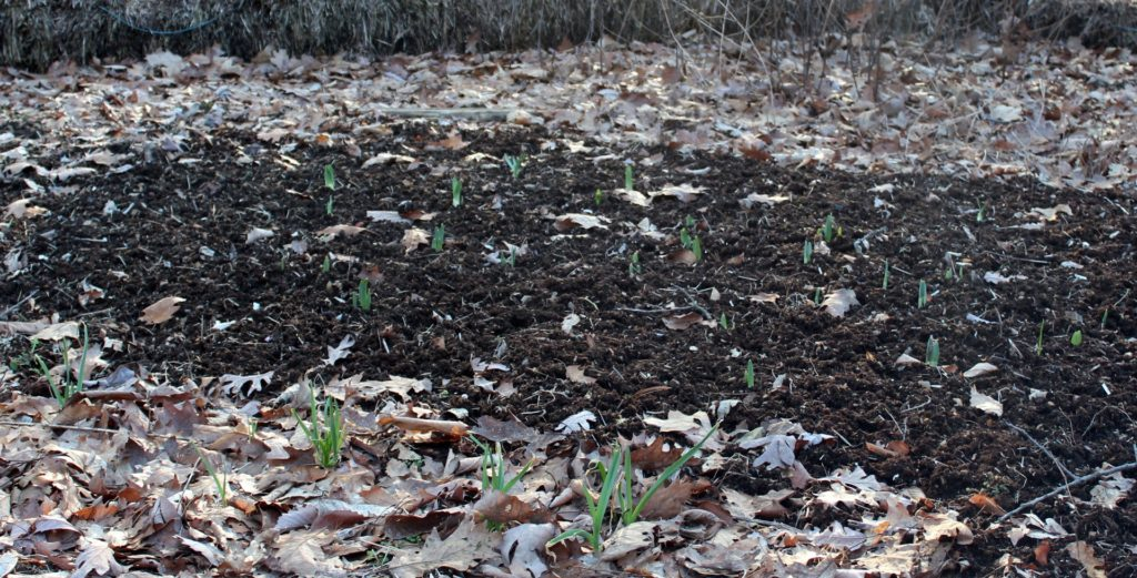 Flower bulbs sprouting in late Winter.