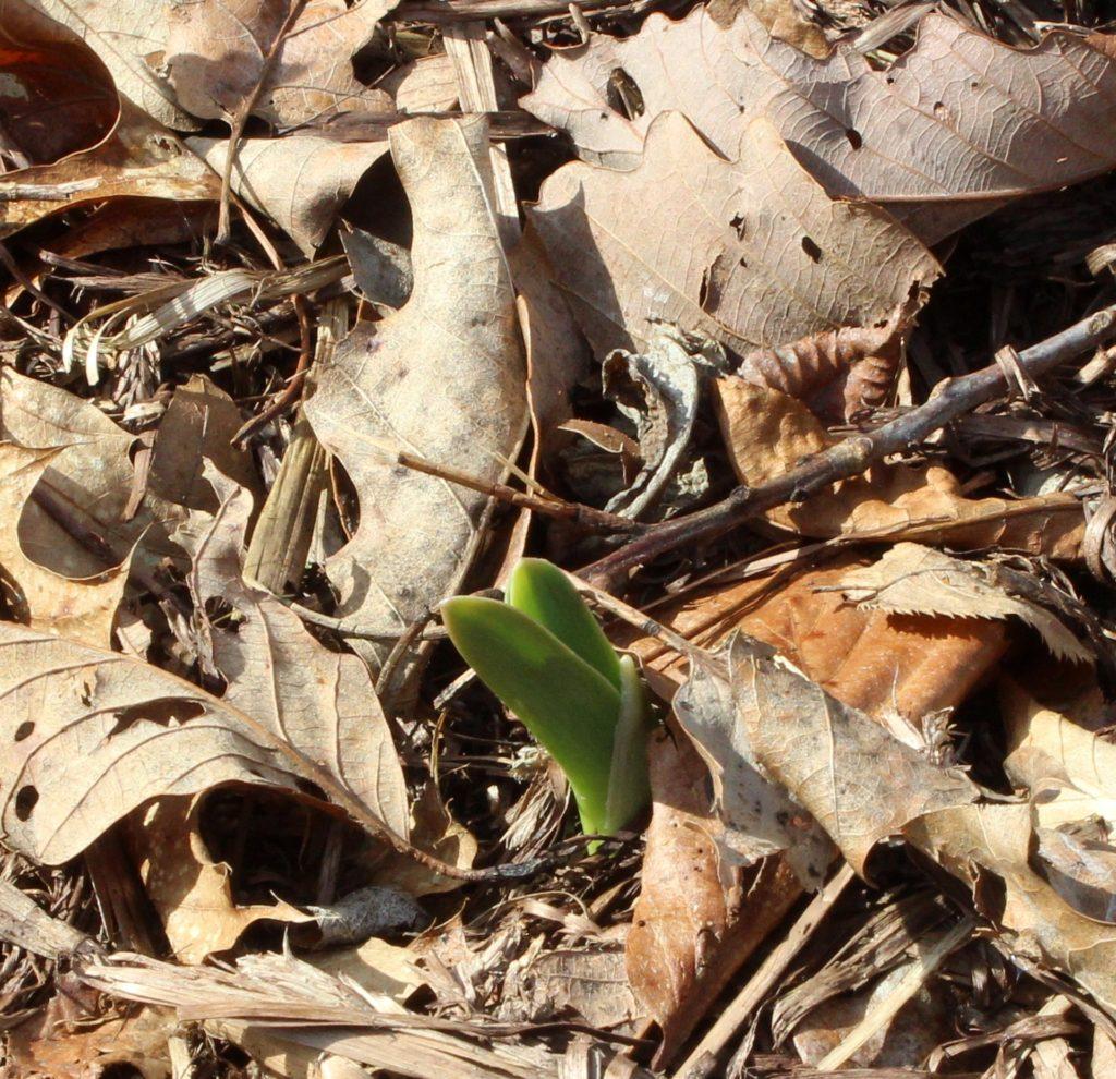 Elephant Garlic Sprouting in the Garden