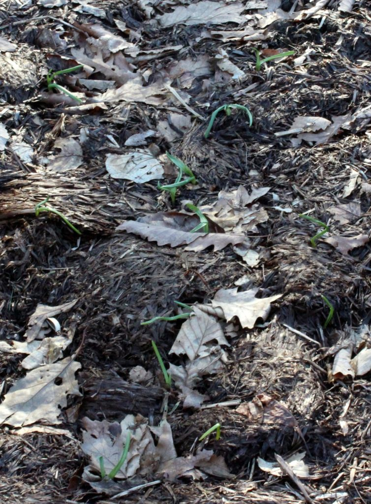 Garlic Sprouts Uncovered