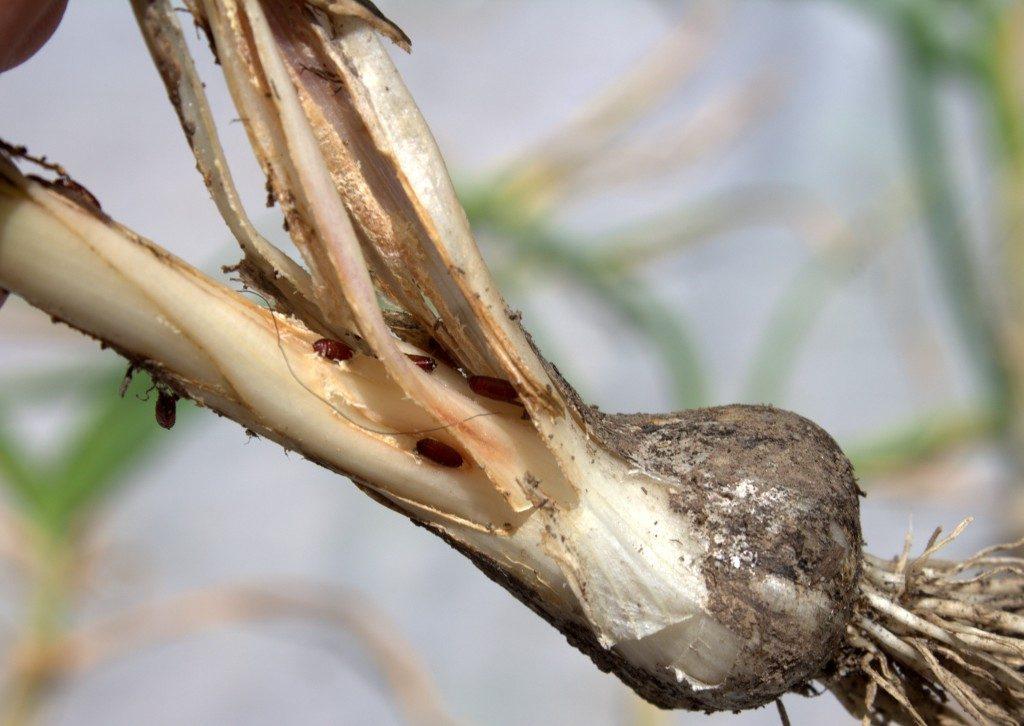 Onion Leafminer Pupae Present in Garlic